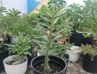 Một số phương pháp nhân giống cây sứ thái