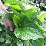 Những tác dụng của lá lốt trong việc chữa bệnh theo Y học