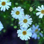 Chữa bệnh bằng hoa cúc hiệu quả