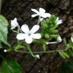 Bạch hoa xà giải độc, tiêu thũng hiệu quả