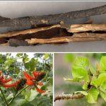 Hải đồng bì – thuốc an thần, sát trùng, tiêu cam tích hiệu quả